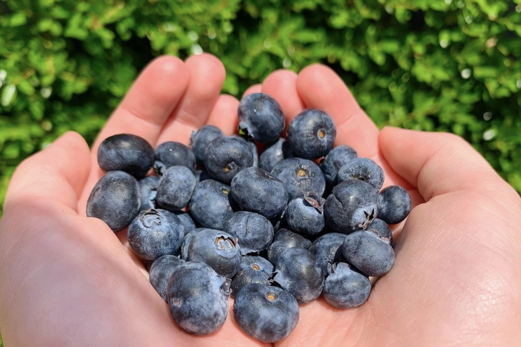 Handful of Blueberries During the Summer Time in Texas